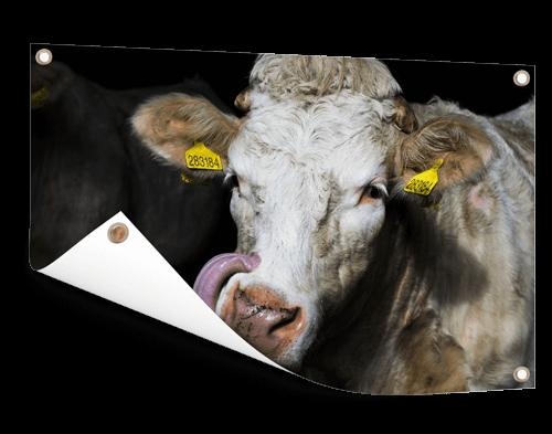 Koeienfoto op tuinposter afdrukken
